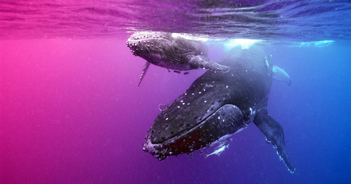 Bề mặt nhau thai cá voi và bò thánh Chúng thật tuyệt vời
